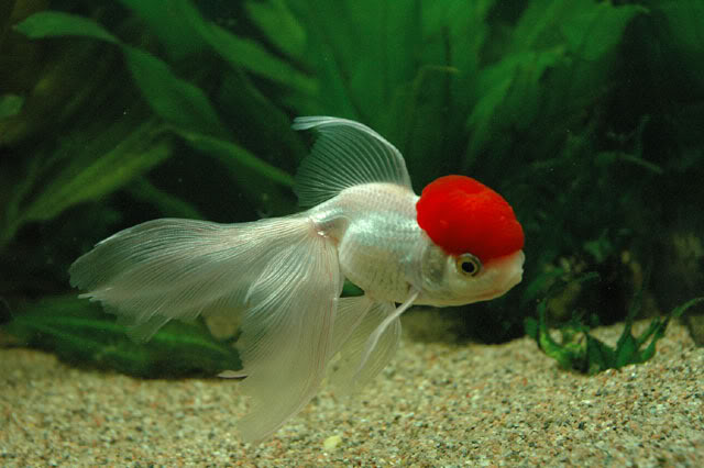 Peces pajarer a amazonas for Peces goldfish tipos