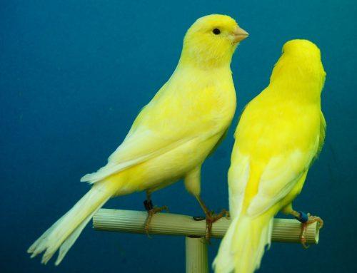 Jaula perfecta para la Cría de Canarios