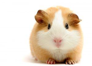 crias de hamster