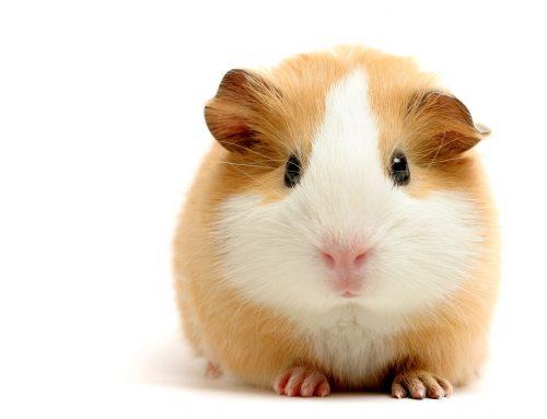 ¿Cómo cuidar a las crias de Hamster?