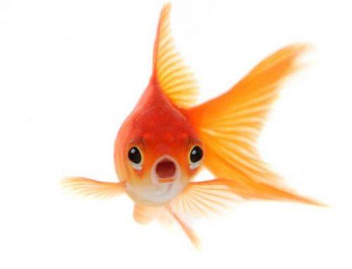 Goldfish, el oro de tu acuario
