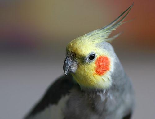 Un ave como primera mascota: Las Ninfas o Carolinas