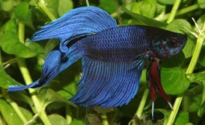 los peces betta