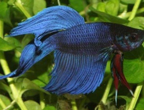 El agua adecuada para los peces betta
