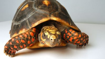 la tortuga de patas rojas