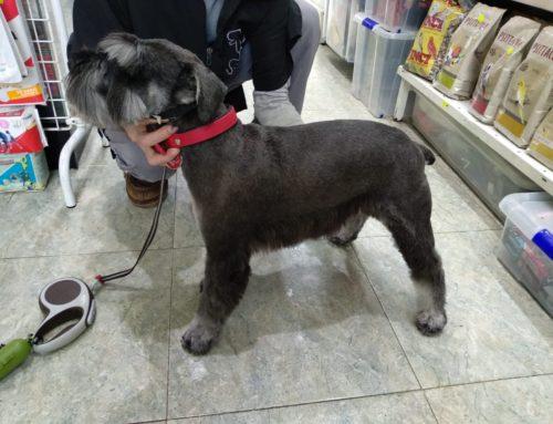 Peluquería Canina Schnauzer miniatura en Oviedo