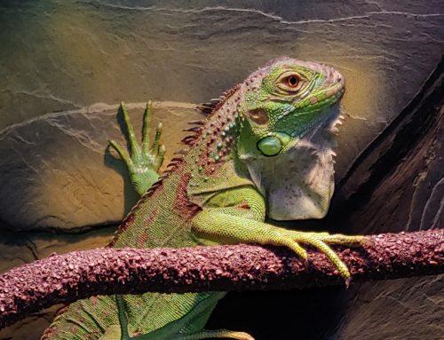 Iguana Verde: El mejor Réptil como mascota