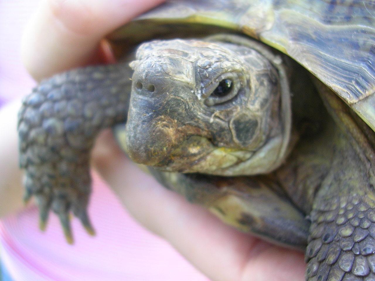 Adorables Tortugas Terrestres (Tortugas Rusas)
